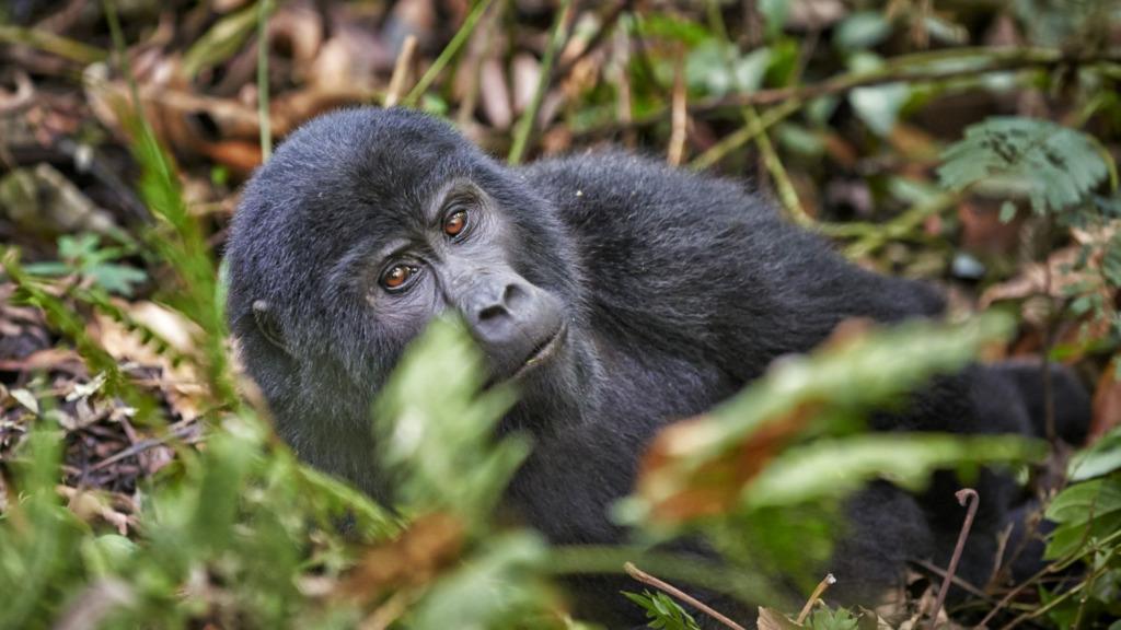 Gorilla in Uganda | Abendsonne Afrika