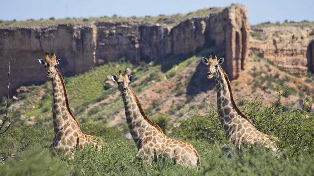 Giraffen in der Vingerklip Lodge in Namibia | Abendsonne Afrika