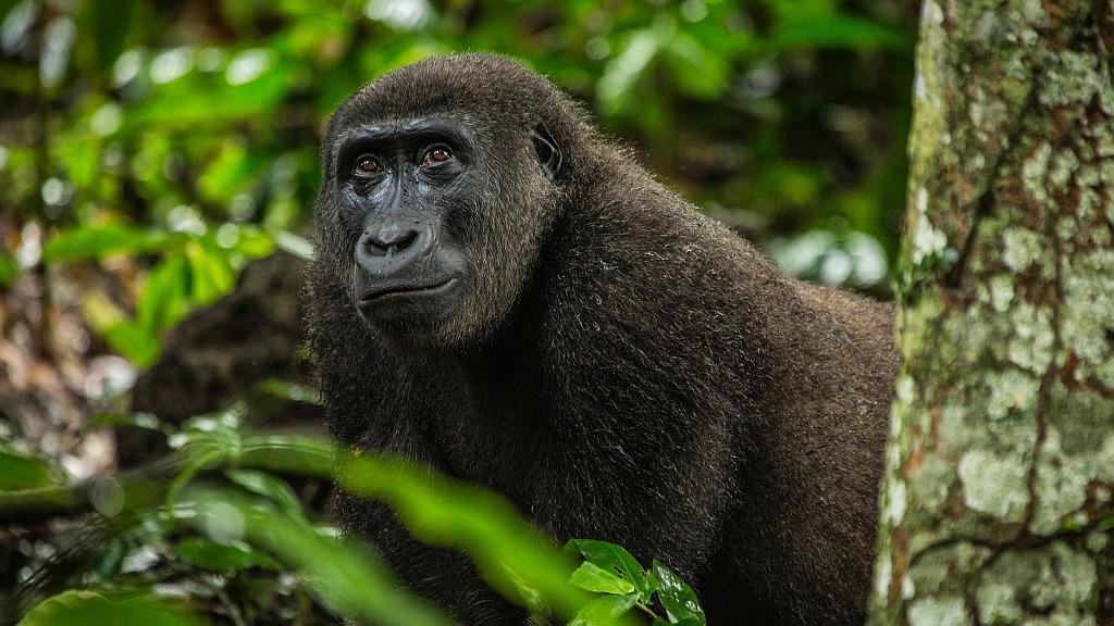 Header Flachlandgorillas im Kongo | Abendsonne Afrika