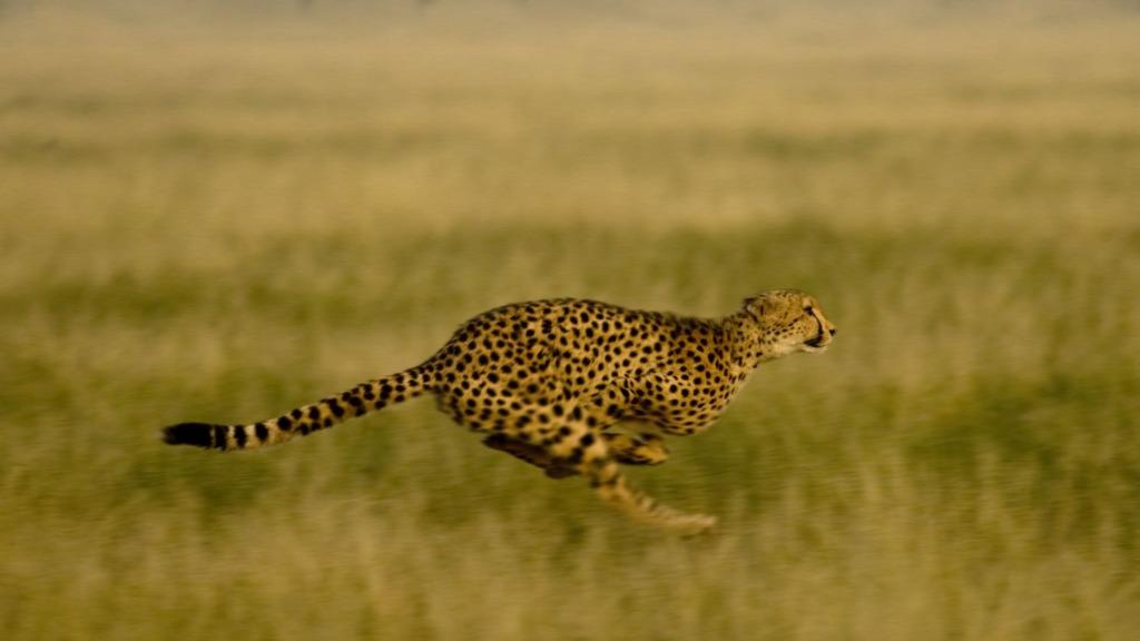Rennender Gepard in Botswana | Abendsonne Afrika