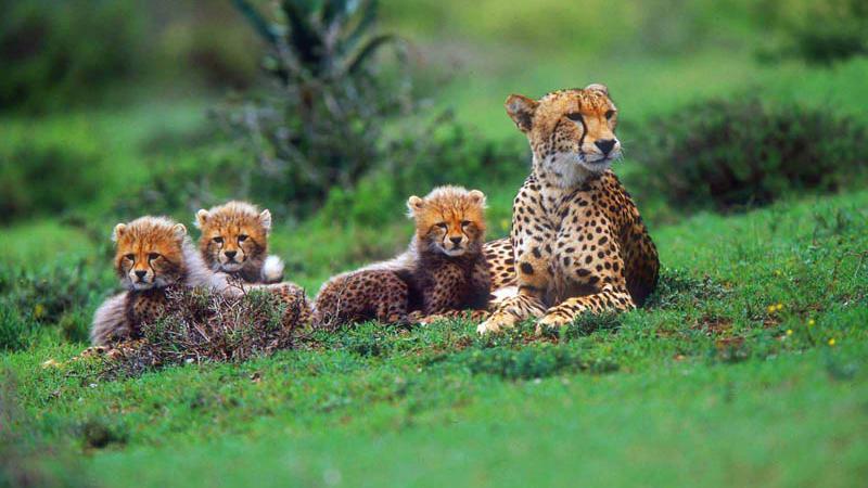 Geparden im Amakhala Game Rersve in Südafrika | Abendsonne Afrika