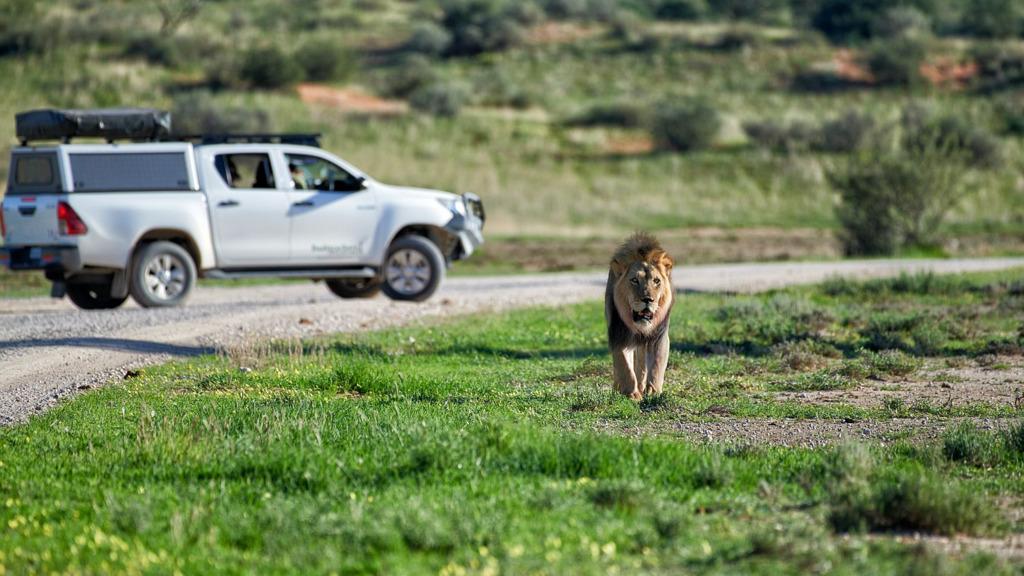 Auto und Löwe in Namibia   Abendsonne Afrika