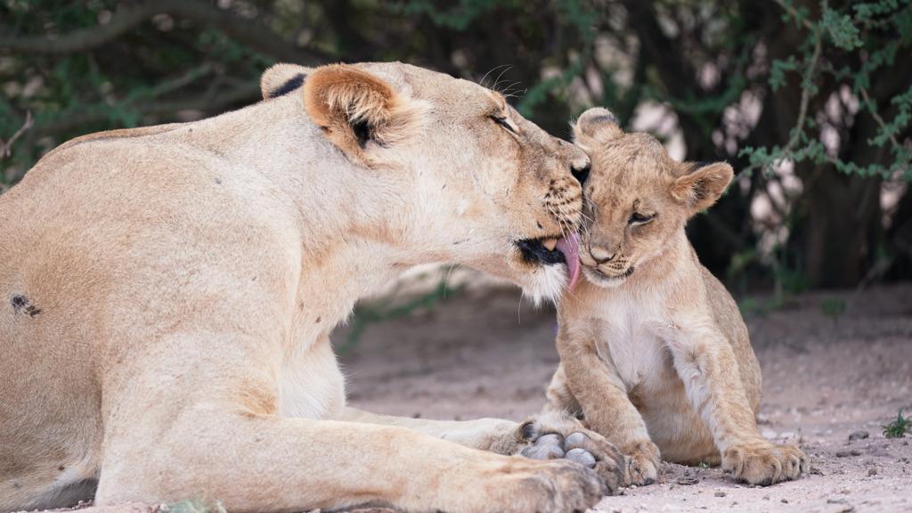 Header Best of Botswana 1, Löwen, Botswana | Abendsonne Afrika