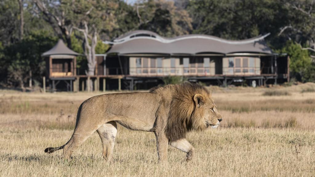 Löwe vor der Xigera Safari Lodge in Botswana | Abendsonne Afrika