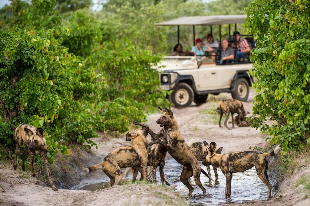 Wildhunde in der Nähe des DumaTau Camps in  Botswana | Abendsonne Afrika