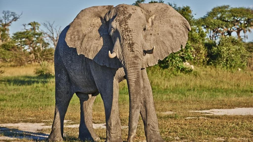 Elefantenbulle in Botswana   Abendsonne Afrika