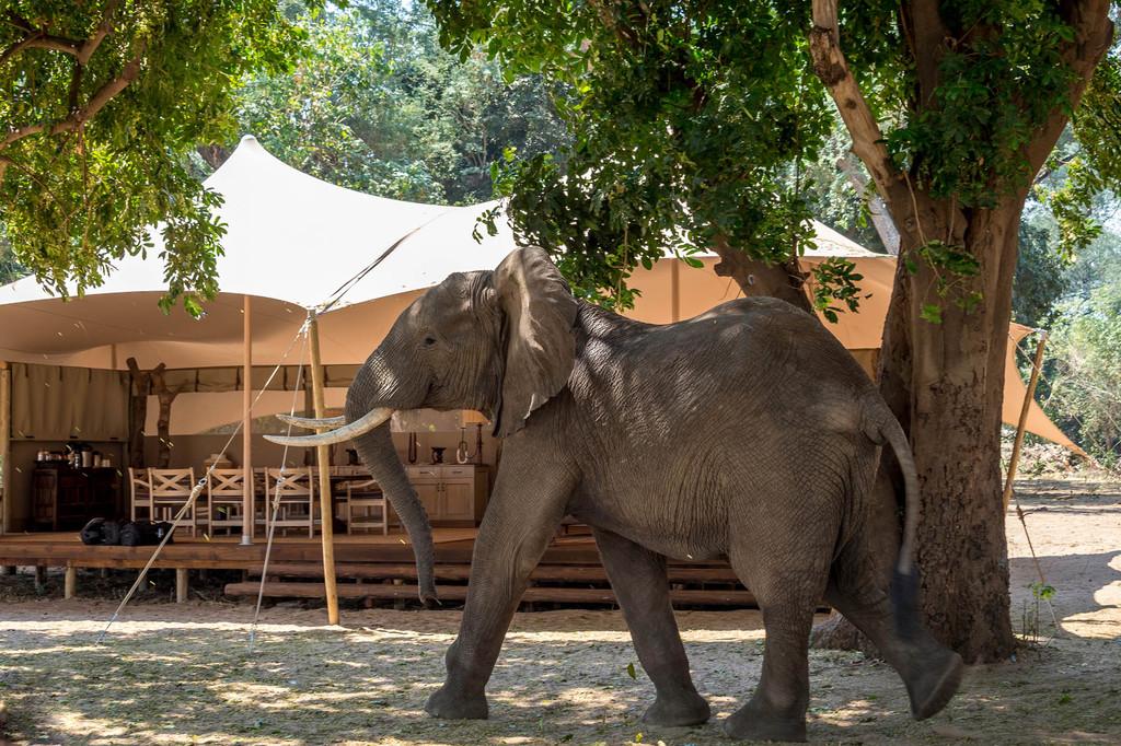 Elefant vor dem Little Ruckomechi Camp in Simbabwe | Abendsonne Afrika