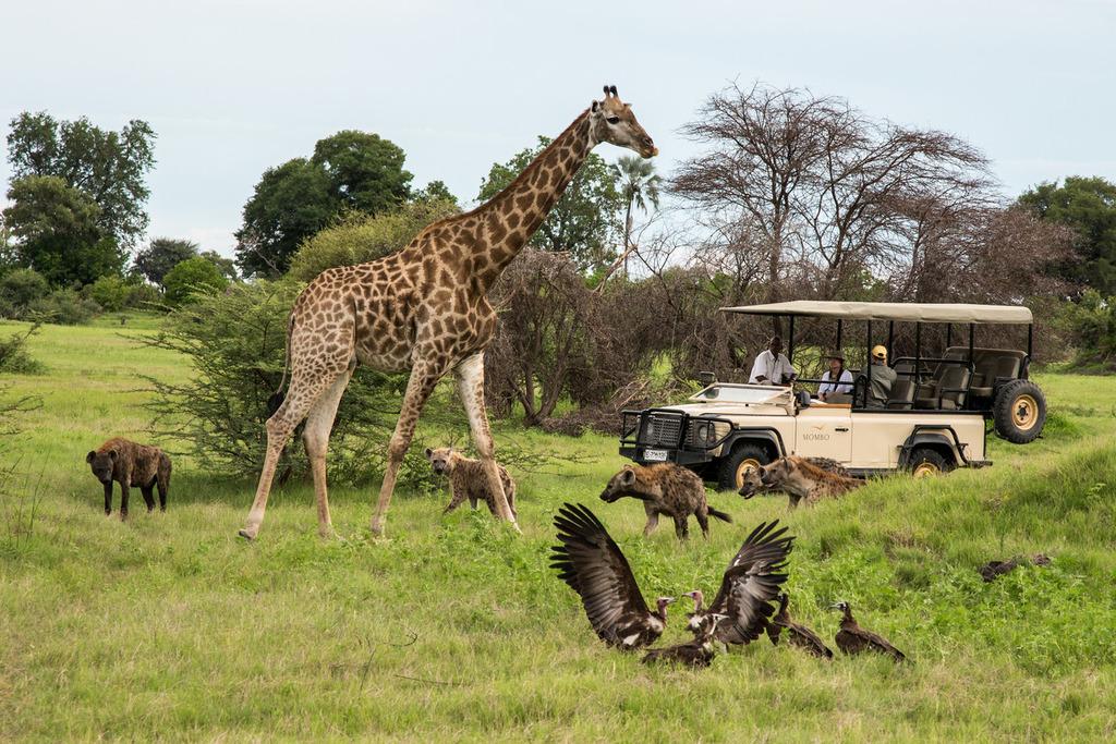 Wildbeobachtungsfahrt des Mombo Camp in Botswana | Abendsonne Afrika