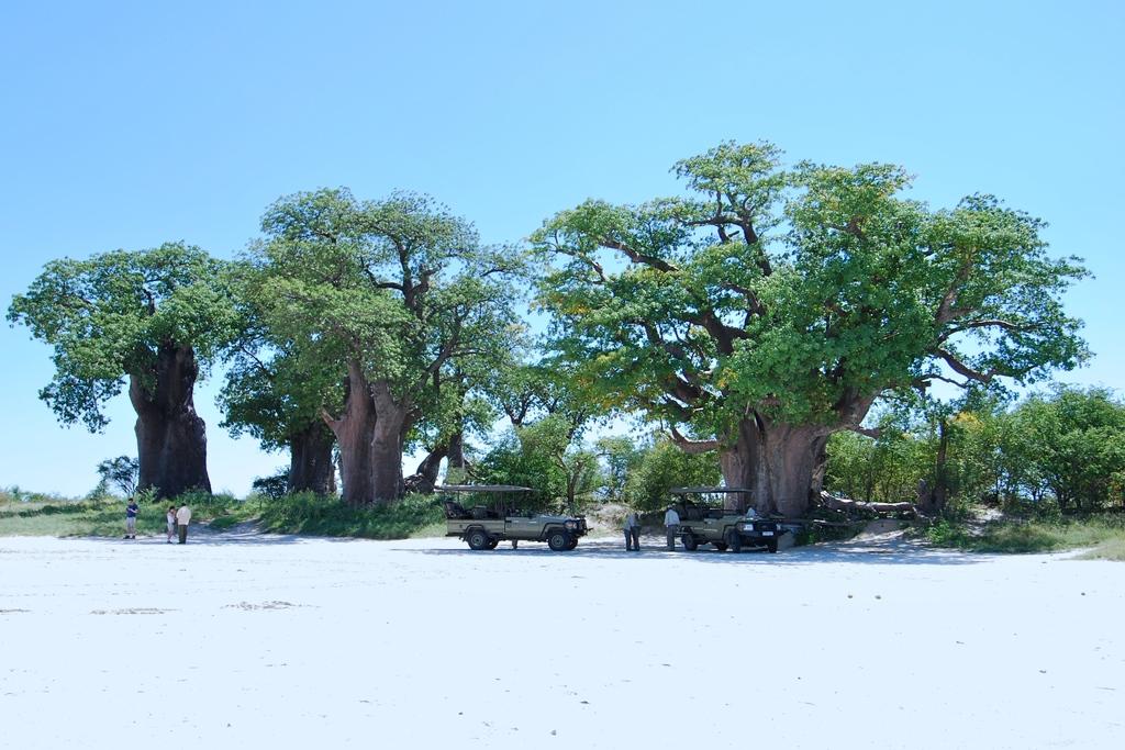 Baobab-Bäume in der Nähe des Nxai Pan Camps in Botswana | Abendsonne Afrika