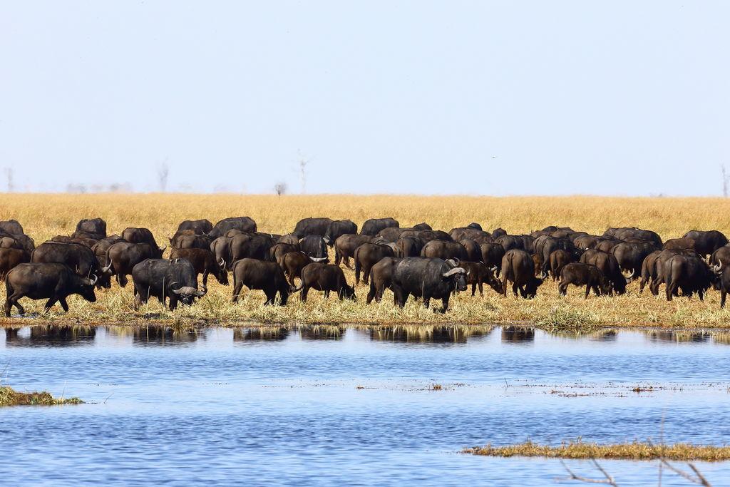 Büffelherde beim Sango Safari Camp in Botswana | Abendsonne Afrika