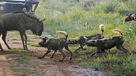 Wildhunde im Madikwe Game Reserve in Südafrika | Abendsonne Afrika