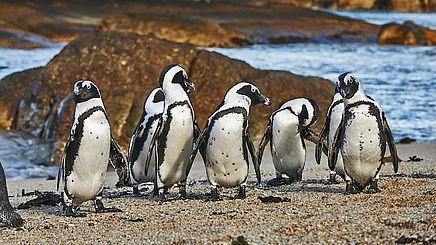 Pinguine auf der Gartenroute in Südafrika | Abendsonne Afrika