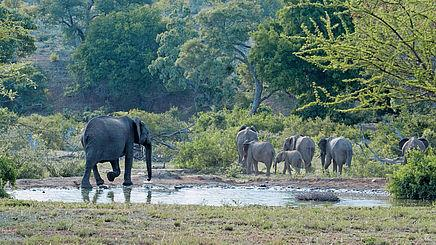 Elefanten im Timbavati Game Reserve in Südafrika | Abendsonne Afrika