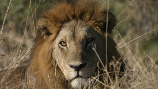 Botswana Lion Trail | Abendsonne Afrika