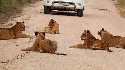 Löwen im Krüger National Park in Südafrika | Abendsonne Afrika