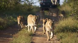 Löwenrudel im Kapama Private Game Reserve in Südafrika | Abendsonne Afrika