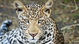 Header Best of Botswana 2, Leopard, Botswana | Abendsonne Afrika