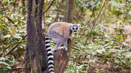 Lemur im Monkeyland in Südafrika | Abendsonne Afrika