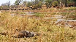 Löwen beim Mwaleshi Camp in Sambia | Abendsonne Afrika