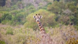 Giraffe im Nyerere Nationalpark (ehemals Selous Wildschutzgebiet)