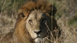 Löwe in Botswana | Abendsonne Afrika