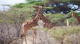 HEader, Kenia