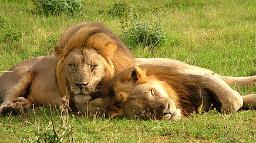 Löwen im Augrabies Falls Nationalpark in Südarika | Abendsonne Afrika