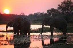 Elefanten beim Baden im Sonnenuntergang in Botswana | Abendsonne Afrika