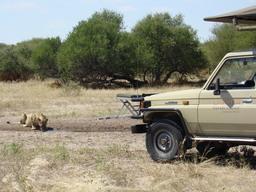 Löwe beim Trinken bei Wildbeobachtungsfahrt der Dinaka Safari Lodge in Botswana | Abendsonne Afrika