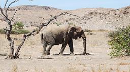 Wüstenelefant im Damaraland, Namibia | Abendsonne Afrika