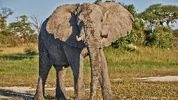 Elefantenbulle in Botswana | Abendsonne Afrika