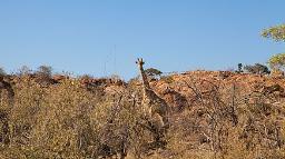Giraffe im Mapungubwe National Park in Südafrika | Abendsonne Afrika