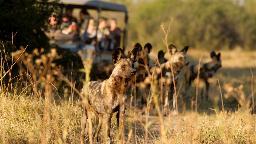 Wildhunde in Botswana | Abendsonne Afrika