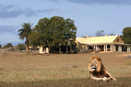 Löwe im Gorah Elephant Camp in Südafrika | Abendsonne Afrika
